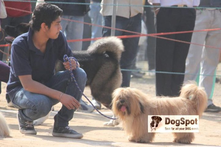 Apso, Lhasa Apso, DogSpot.in