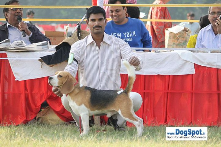 sw-8, beagle,ex-70,, CH. BLUE BELL'S HIPPY, Beagle, DogSpot.in