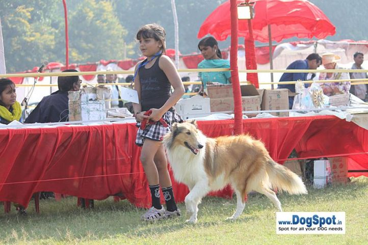 sw-8, collie,ex-297,, DIDAAYU, Rough Collie, DogSpot.in