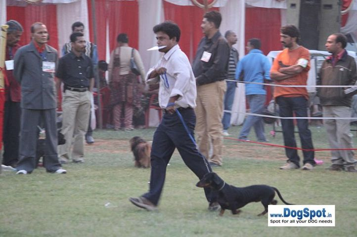 sw-8, dachshund,, Lucknow Dog Show 2010, DogSpot.in