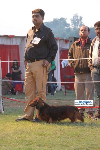 sw-8, dachshund,ex-80,, JONY, Dachshund Standard- Long Haired, DogSpot.in