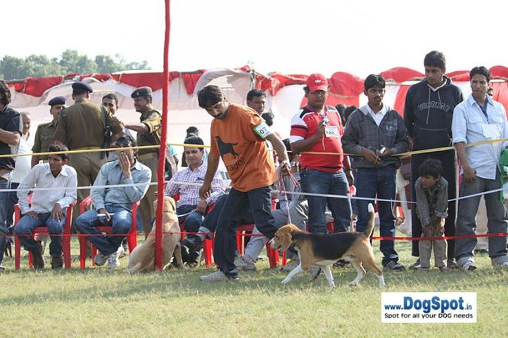 sw-8, beagle,, Lucknow Dog Show 2010, DogSpot.in