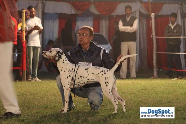 sw-8, dalmatian,, Lucknow Dog Show 2010, DogSpot.in