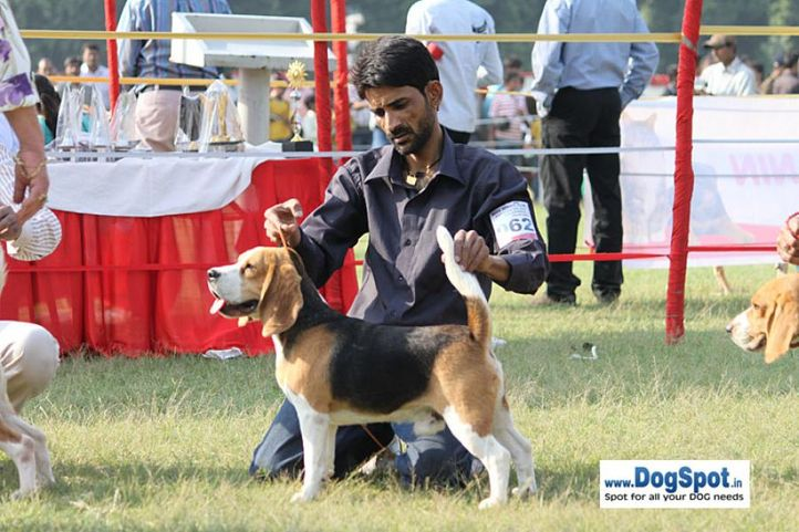 sw-8, beagle,ex-62,, YEOMAN'S FIGHITER, Beagle, DogSpot.in
