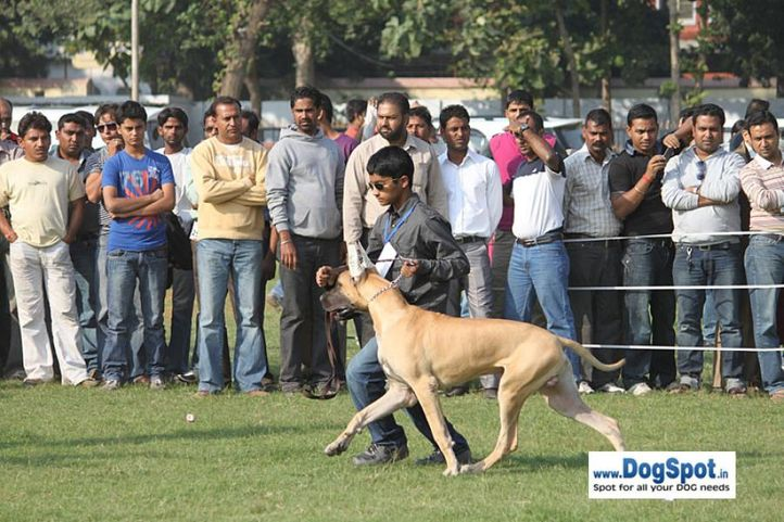 sw-8, greatdane,, Lucknow Dog Show 2010, DogSpot.in