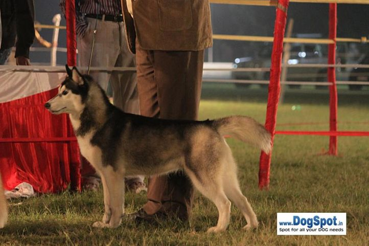 sw-8, ex-294,siberian husky,, ZUNJAR'S BANDY, Siberian Husky, DogSpot.in