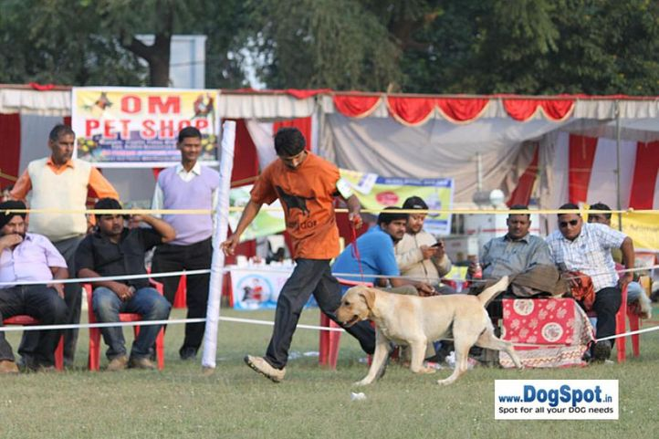 sw-8, lab,, Lucknow Dog Show 2010, DogSpot.in