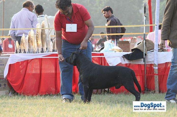 sw-8, ex-125,lab,, Lucknow Dog Show 2010, DogSpot.in