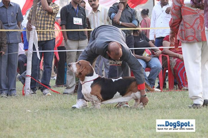 sw-8, basset,ex-52,, LASTELL'S I AM GOING TO GET YOU, Basset Hound, DogSpot.in