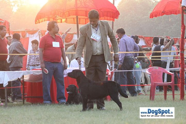 sw-8, ex-123,lab,, Lucknow Dog Show 2010, DogSpot.in
