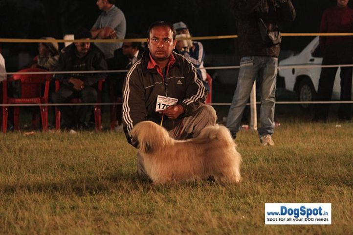 sw-8, ex-179,lhasa,, DON, Lhasa Apso, DogSpot.in