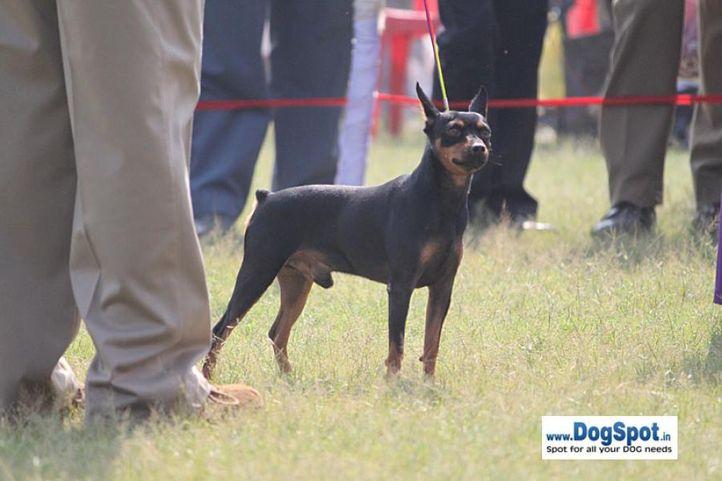 sw-8, ex-7,minpin,, YASHBANS MAKE A GUESS, Miniature Pinscher, DogSpot.in
