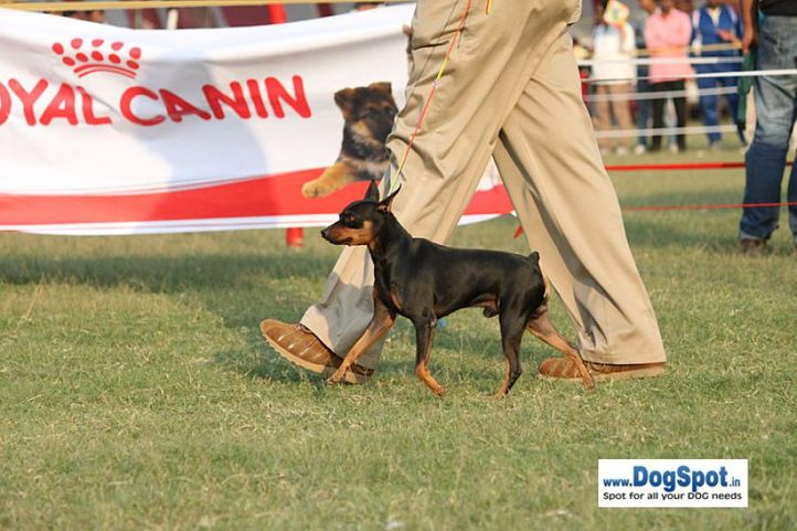 sw-8, ex-7,minpin,, YASHBANS MAKE A GUESS, Miniature Pinscher, DogSpot.in