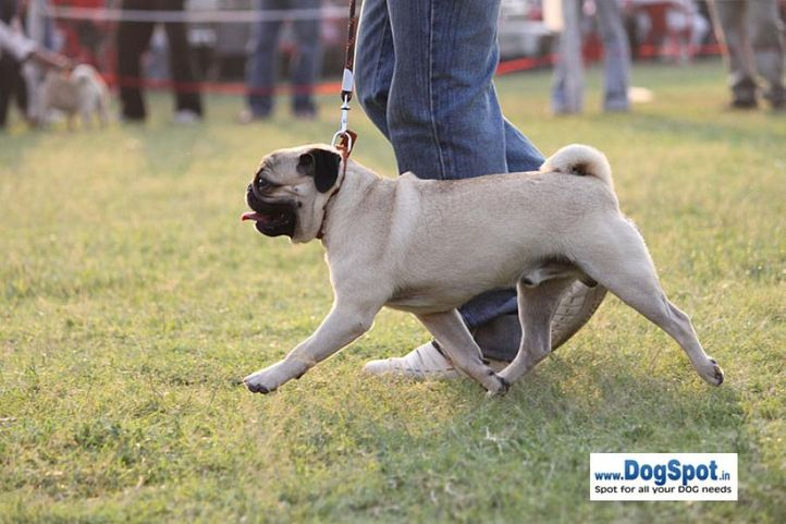 sw-8, pug,, Lucknow Dog Show 2010, DogSpot.in