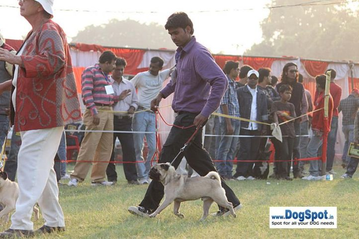 sw-8, ex-342,pug,, Lucknow Dog Show 2010, DogSpot.in