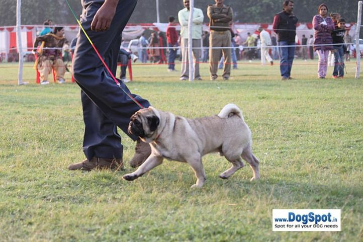 sw-8, ex-15,pug,, AUST. IND. CH. GUPALSZIV COI COL SAN, Pug, DogSpot.in
