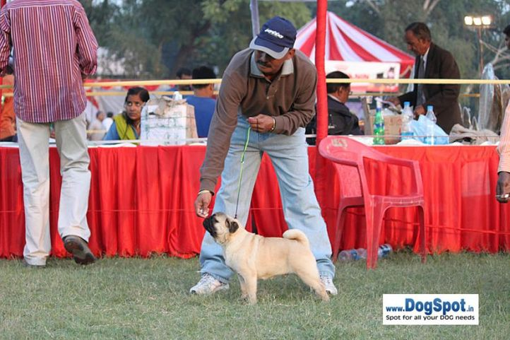 sw-8, ex-23,pug,, CH. Blazing Boy of Sunnyland, Pug, DogSpot.in