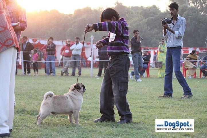 sw-8, ex-19,pug,, VAATTOO'S LEUTINANT, Pug, DogSpot.in