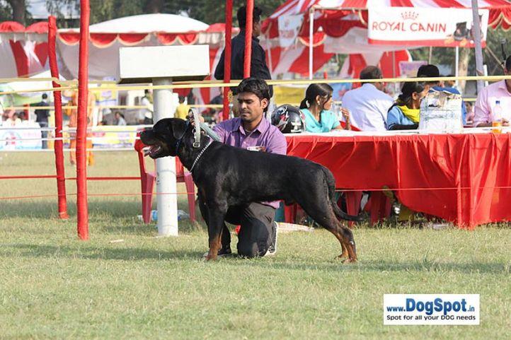 sw-8, ex-276,rottweiler,, BRUNO, Rottweiler, DogSpot.in