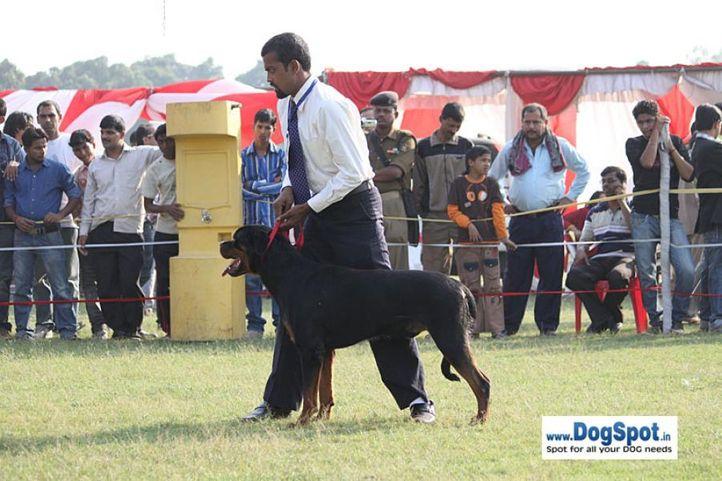 sw-8, ex-255,rottweiler,, DACK THE MAN, Rottweiler, DogSpot.in