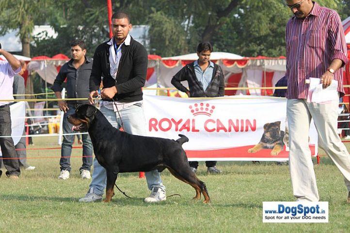sw-8, ex-282,rottweiler,, BINGO VOM HAUS DRAZIC, Rottweiler, DogSpot.in