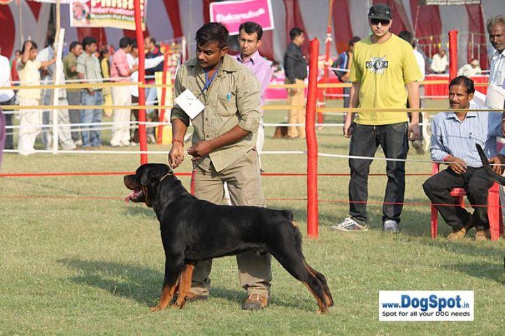sw-8, ex-254,rottweiler,, JOHN, Rottweiler, DogSpot.in