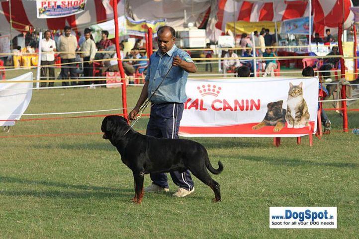 sw-8, ex-262,rottweiler,, IND. CH. ROSY'S CARLOS VON KELEMEN, Rottweiler, DogSpot.in