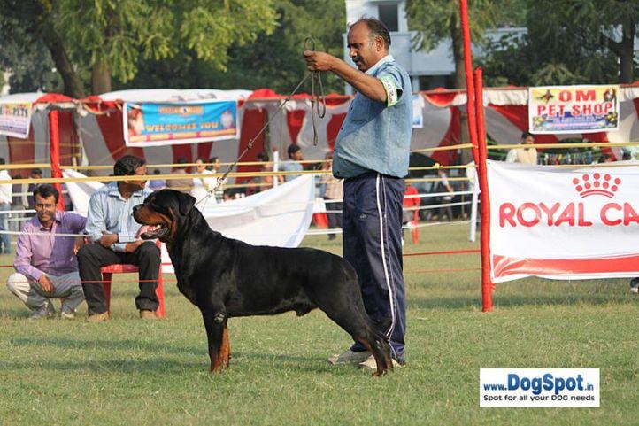sw-8, ex-256,rottweiler,, SUMALIK THANKS GOD, Rottweiler, DogSpot.in