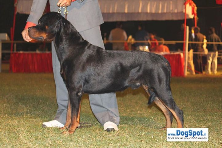 sw-8, ex-263,rottweiler,, IN. CH TH.SRB.JR.CH.CAI VON LENCHEN, Rottweiler, DogSpot.in