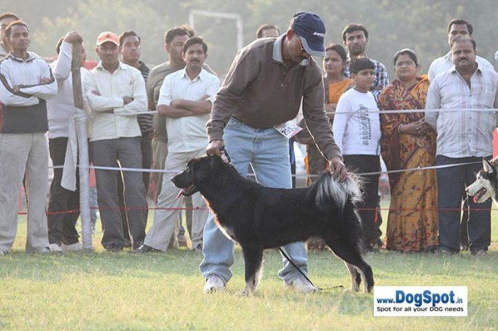sw-8, ex-295,tibetan mastiff,, ROHINA, Tibetan Mastiff, DogSpot.in