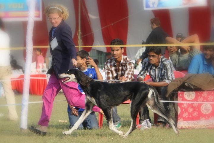sw-8, lucknow dog show 2010, ex-97, INDIAN CHIZANIA ANTONIUS, Saluki, DogSpot.in