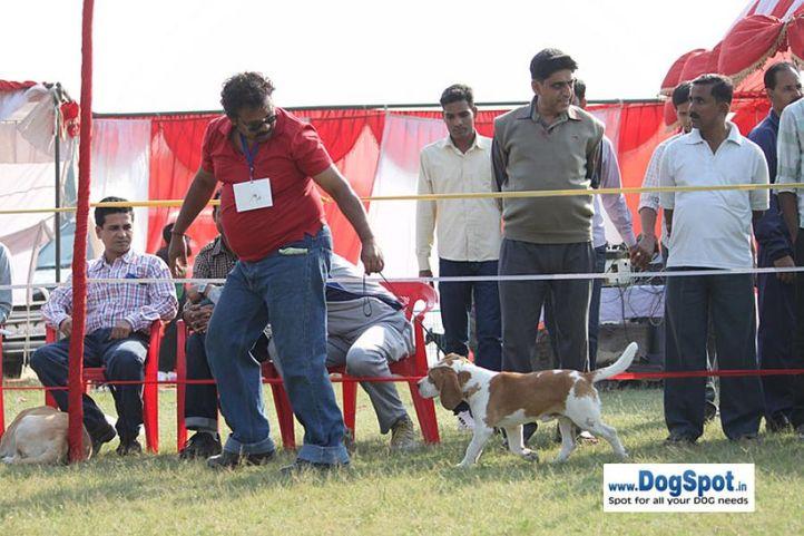 sw-8, beagle,ex-65,, SHAPER'S COCO PUFF, Beagle, DogSpot.in