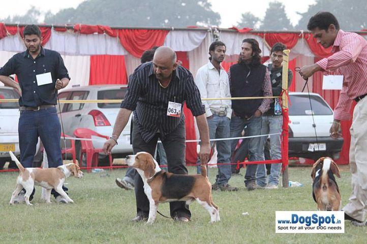 sw-8, beagle,ex-63,, TH.AM.CH.LEGACY'S SPEAKEASY, Beagle, DogSpot.in