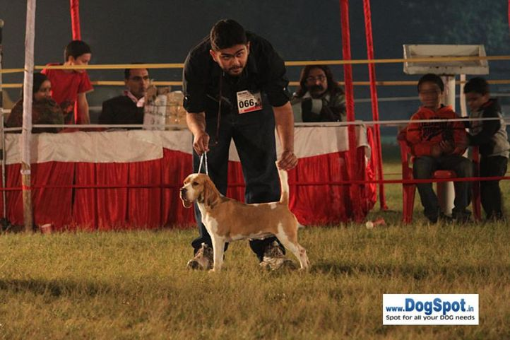 sw-8, beagle,ex-66,, CELEBRATION OF SUNNYLAND, Beagle, DogSpot.in
