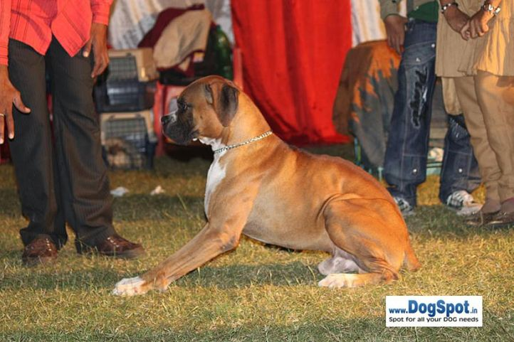 sw-8, boxer,, Lucknow Dog Show 2010, DogSpot.in