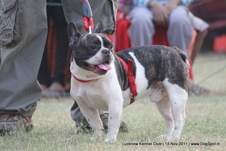 ex-157,sw-43,utilty,, GREAT EXPECTATIONS, French Bull Dog, DogSpot.in