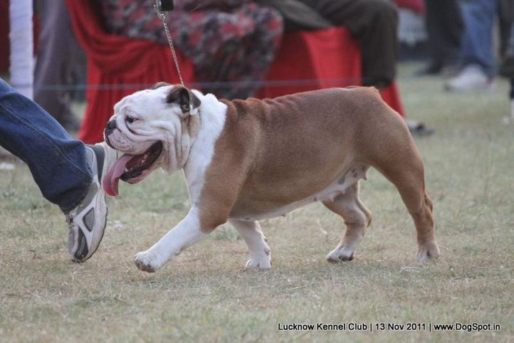 bull dog,ex-154,sw-43,utilty,, BROWNY THE DIFFERENT ONE, Bull Dog, DogSpot.in