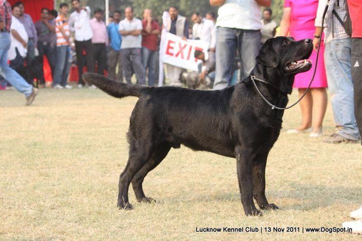 ex-147,labrador,sw-43,, WAIT A MINUTE, Labrador Retriever, DogSpot.in