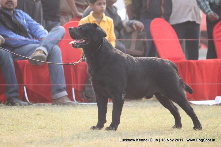 ex-133,labrador,sw-43,, JATIN'S REPO, Labrador Retriever, DogSpot.in