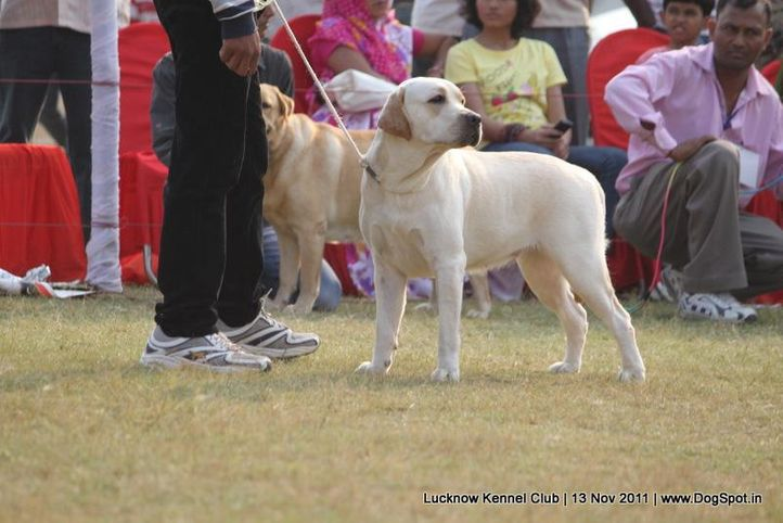 ex-131,labrador,sw-43,, SHVANONE'S BORN TO WIN, Labrador Retriever, DogSpot.in