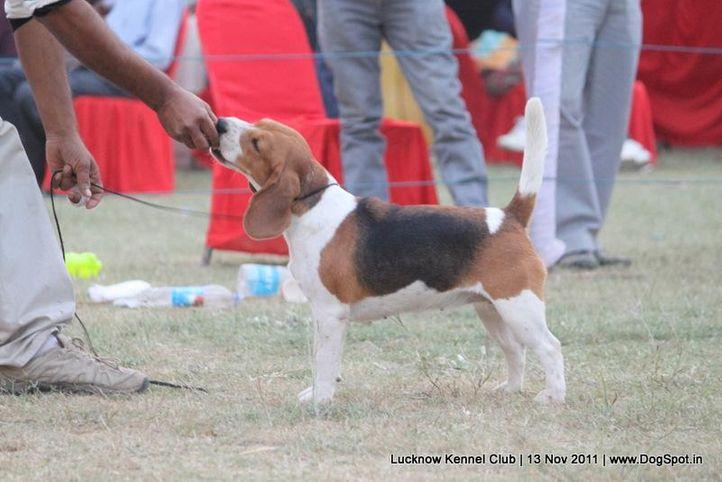 beagle,ex-68,sw-43,, SWEET HEART GIRL, Beagle, DogSpot.in