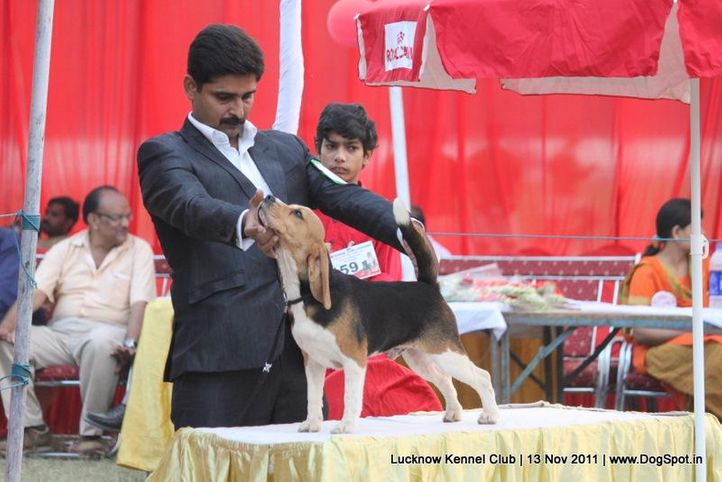 beagle,ex-59,sw-43,, ZENITH'S COMADIAN, Beagle, DogSpot.in