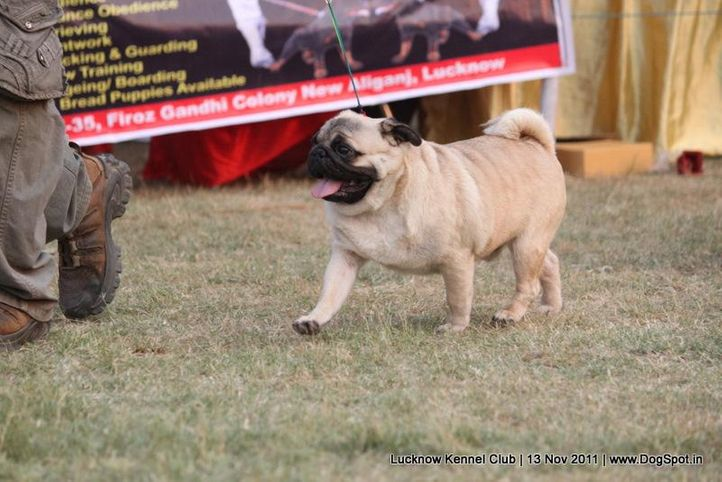 ex-35,pug,sw-43,, IND CH AUST CH LECARNE STANDING OVATION, Pug, DogSpot.in