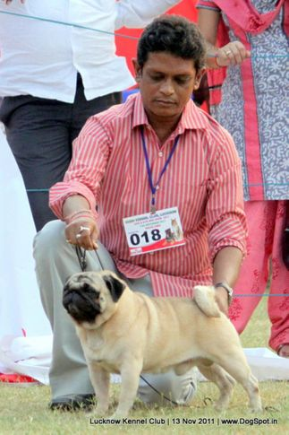 ex-18,pug,sw-43,, CH.IND.CH., PERLINS GO FOR THE GOLD, Pug, DogSpot.in