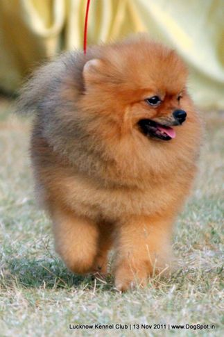 ex-11,pomeranian,sw-43,, CUTE BOY OF NAAZ, Pomeranian, DogSpot.in