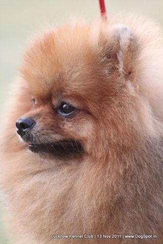 ex-11,pomeranian,sw-43,, CUTE BOY OF NAAZ, Pomeranian, DogSpot.in