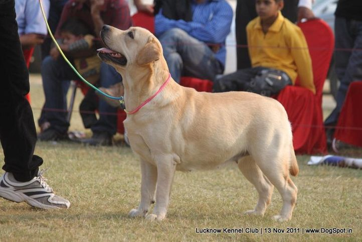 labrador,sw-43,, Lucknow Dog Show 2011, DogSpot.in