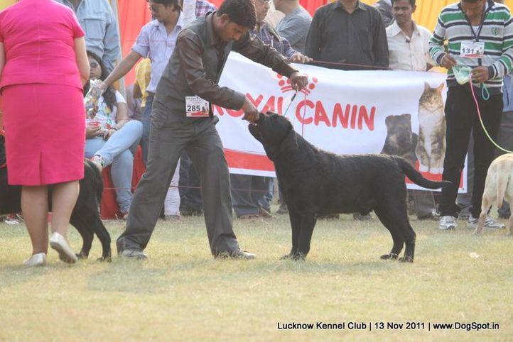 ex-285,labrador,sw-43,, CAPRONCA DE NERO, Labrador Retriever, DogSpot.in