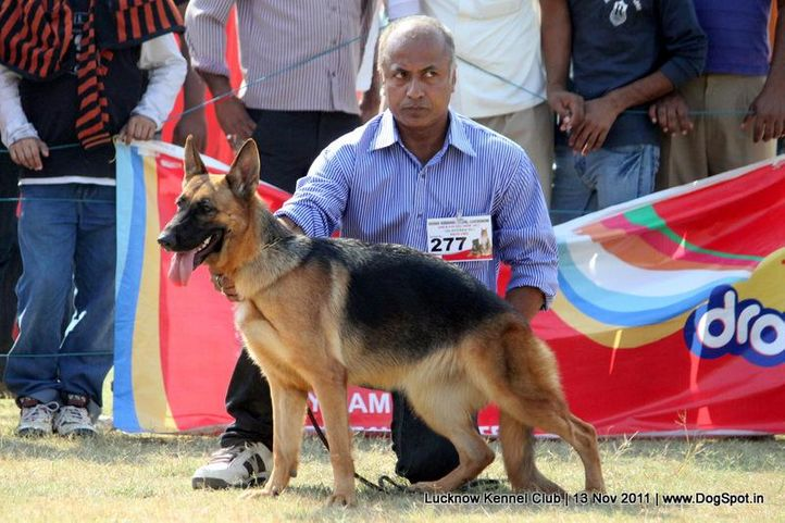 ex-277,gsd,sw-43,, ROOPA, German Shepherd Dog, DogSpot.in