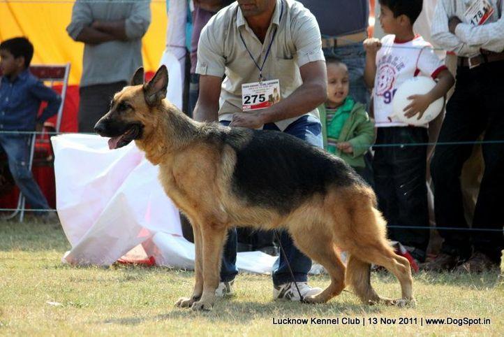 ex-275,gsd,sw-43,, DHEERS STARYAR STYLISH GIRL, German Shepherd Dog, DogSpot.in